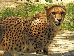 Chita (Acinonyx jubatus) (Marina CRibeiro) Tags: portugal lisboa lisbon chita cheetah feine felino bigcat animal