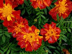 Marigolds (pat.bluey) Tags: mygarden nsw australia orange flowers marigolds greenandgold 1001nights 1001nightsmagiccity 1001nightsmagicgarden coth alittlebeauty coth5