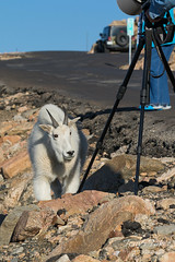 Young Mountain Goat checking out a fellow photographer