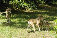family affair (ucumari photography) Tags: ucumariphotography redwolf canislupus animal mammal museumoflifeandscience durham nc north carolina july 2017 dsc0283 specanimal