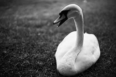 (MatteoCarfagno) Tags: sonya7 planar f14 50mm vintage lens blackandwhite cigno swan cagliari sardinia sardegna monte claro