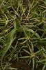 Portulaca pilosa cf (3) (siddarth.machado) Tags: deccanplateau flora rockyoutcrops rocky deccanflora andrapradesh dry plants wild budili deccanplateauflora