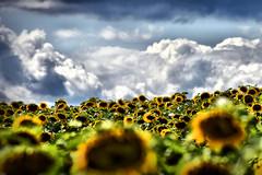 Sonnenblumen (otto.detlef) Tags: d5300 nikond5300 nikon natur landschaft lanscape sun sonne field feld sky himmel sonnenblumen sunflowers