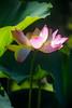 Kenilworth Aqua-044 (Mike L Washington) Tags: lotus nelumbonucifera aquatic flower sacredlotus