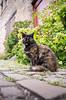IMGP0770 (fLobOOk) Tags: cordes sur ciel cordessurciel aveyron tarn village médiéval histoire chien chat france europe garonne tarnetgaronne