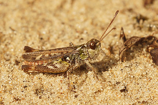 Knopsprietje - Myrmeleotettix maculatus