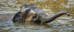 Elefant IMG_2033-2 (Svenja Kalus) Tags: zoo erlebniszoohannover tiere animals animal tier tierpark elefant elephant jungtier baby