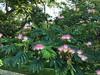 Albizia julibrissin (Silk Tree, Mimosa, Albizia) (Plant Image Library) Tags: arnoldarboretum boston massachusetts plants trees new england botany phenology ecology august 2017 144277b albiziajulibrissin silktree mimosa albizia fabaceae flower foliage