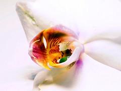 Orchidee (ingrid eulenfan) Tags: macromondays makro macro object objekt blume orchidee highkey blüte blossom flower 90mm sonyilca77m2