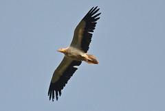 Egyptian vulture AKA Pharaoh's chicken (Ratsiola) Tags: vultures naturalworld environment balearics menorca egyptianvulture wildlife raptors pharaohschicken birdsinflight blue skies nikond500 wingspan wings