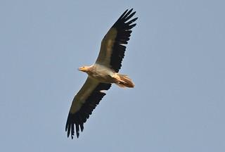 Egyptian vulture AKA Pharaoh's chicken