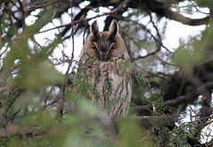 Long-eared Owl, Apetlon, Seewinkel, Austria March 2013 (Sterna999) Tags: longearedowl waldohreule asiootus hiboumoyenduc erdeifülesbagoly gufocomune apetlon seewinkel neusiedlersee austria österreich autriche