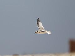 California Least Tern, Sternula antillarum browni (bruce_aird) Tags: