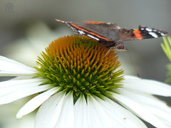 butterfly on white macro echinacea (Ola 竜) Tags: butterfly insect animal white flower echinacea petals macro light nature dof bokeh fz200 tornwings focus antennaedown natural composition pollination