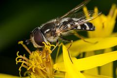 Hoverfly (Scaeva pyrastri) (The LakeSide) Tags: macro slovakia vysoke tatry tatra high nikon r1c1 d7100 insect scaeva pyrastri fly hoverfly