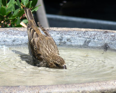 20170809 Song Sparrow (I think) in Birdbath - in Explore (Dolores.G) Tags: 365the2017edition 3652017 day221365 9aug17