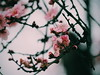 Spring Day (valctusphotography) Tags: chileflickr chile santiago flores olympus flowers cherry blossom cerezo macro pink primavera spring cerro santa lucía