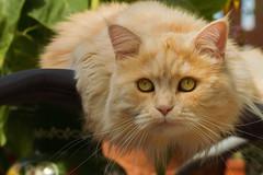 Lounger time for Linus (FocusPocus Photography) Tags: linus katze kater cat chat gato tier animal haustier pet liegestuhl lounger garten garden