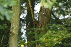 _MG_3711bis (henrirambaud) Tags: animal ecureil alsace bois faune