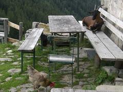 The Chicken and the Goat (bookhouse boy) Tags: 30juli2017 2017 grosertraithen fellalm ursprungpass bayrischzell trockenletten berge mountain alpen alps bayerischevoralpen