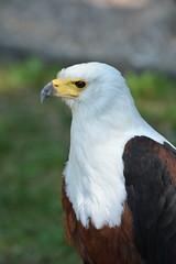 Afrikanischer Seeadler (der.froetz) Tags: kurpfalztag greifvogel afrikanischer seeadler