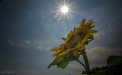 Massive energy transfer . . . (Dr. Farnsworth) Tags: flower sun sunshine sunlight sunflower photosynthesis energy transfer college thesis photograph traversecity mi michigan summer august2017
