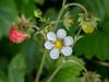 DSCF3644.jpg (Irena & Libor) Tags: flower strawberries outdoors macro petal nature
