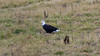 Eagle on the ground (MoFasterMo) Tags: bird wildlife missouri eagle ground field bald animal nikon d3100 digital flora fauna outdoors