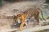 Walking Tiger at the Washington DC National Zoo (Jersey Camera) Tags: washingtondcnationalzoo zoo tiger sumatrantiger pantheratigrissumatrae