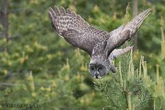 Great Gray Owl (Gregory Lis) Tags: greatgrayowl strixnebulosa gregorylis gorylis nikond810 nikon britishcolumbia owl bird flight