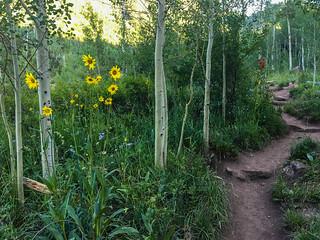 Helianthella quinquenervis - Aspen Sunflower