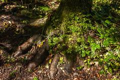 Big Foot - Becky Falls - Dartmoor (L I C H T B I L D E R) Tags: england devon dartmoor manaton beckyfalls tree baum wurzel root fus foot bigfoot nature wood forest wald