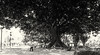 Was ist ein Keks unter einem Baum? (michael_hamburg69) Tags: valència spain spanien valence espagne parque glorieta park bench bank baum tree bäume jardindelaglorieta ficusmacrophylla grosblättrigefeige moretonbayfig ficus
