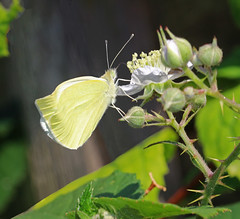 Butterfly: 27.8.17. (VolVal) Tags: dorset bournemouth boscombe garden insect butterfly bramble august