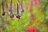 Fuchsia magellanica (Zara Calista) Tags: bokeh dof pink green nikon fuchsia magellanica plant canada bc british columbia vancouver flower