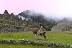 Valle Sagrado (galoware) Tags: peru tawantinsuyu llamas camelidos vallesagrado machupicchu ciudadela perú