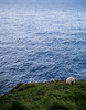 Fearless sheeps (mpic_it) Tags: sheeps duncansby scoland sea meadow