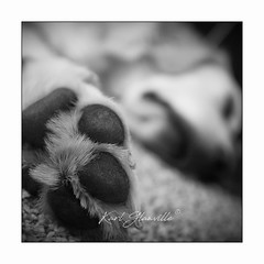"""Magic"" Paws (Explored!!) (glank27) Tags: dog paws golden retriever sleep karl glanville canon eos 5d mk iv ef 1635mm f4l is usm blackwhite candid puppy wildlife animals pet"