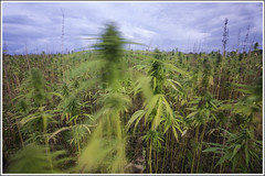 20170820. Pihali. Hemp. 3068 (Tiina Gill (busy)) Tags: estonia raplamaa pihali outdoor summer field hemp landscape cloudy slowshutterspeed