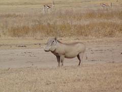 DSC00411 (francy_lioness) Tags: safari jeep animals animali ippopotami leone savana gnu elefante iena pumba tanzaniasafari ngorongorocratere gazzella antilope leonessa lioness facocero
