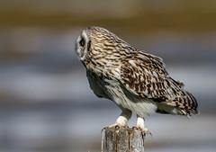 Short-eared owl (roysalomonsen) Tags: shortearedowl jordugle bird nature animal wildlife outdoors feather bokeh birds norway tromsø sigma 150600mm canon eos7d arctic asioflammeus