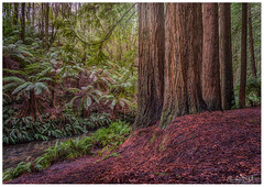 A Giant Voice (BlueberryAsh) Tags: californianredwoods trees gianttrees redwoods beechforest otways airevalleyredwoods aireriver forest ferns landscape outdoor greatoceanroadphotographytour focalscapephotography nikond750 nikon24120