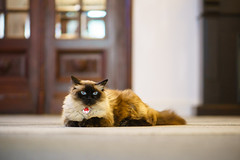 (Brînzei) Tags: bucurești cipi grigorealexandrescu nikkor105mmf25 nikon sonya7 animals bokeh brown cats doors manualfocus staring workplace ★