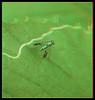 Condylostylus Sipho, Long-Legged Fly on Mined Leaf 2 - Anaglyph 3D (DarkOnus) Tags: pennsylvania buckscounty panasonic lumix dmcfz35 3d stereogram stereography stereo darkonus closeup macro insect fly diptera condylostylus sipho longlegged mined leaf anaglyph