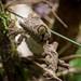 Leaf Gecko
