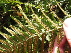 fern 3 (petelovespurple) Tags: fern sori green spores