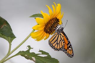 Monarch Butterfl