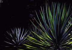 _MG_2007.CR2 (jalexartis) Tags: yucca yuccaplant shrub shrubbery nightphotography night nightshots dark lighting camranger lumecube