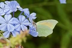 Un charmant citron (benjamin urbain) Tags: macro nature insecte papillon citron extérieur d3300