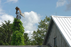 another bearded one (WORLDS APART PHOTO) Tags: barn overgrown windmills windmillwednesday wisconsin denmark denmarkwi farming agriculturaldecay agriculture agriculturalbarns outdoors creepercovered